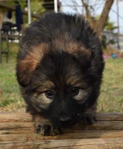 black sable german shepherd puppy for sa