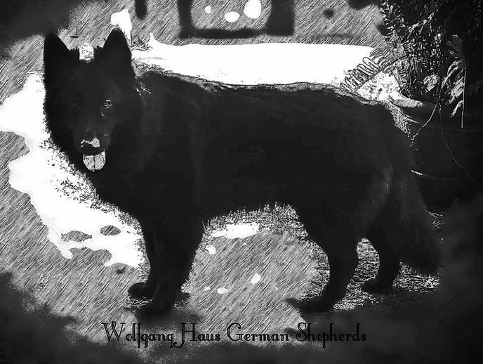 artsy solid black long coat german sheph