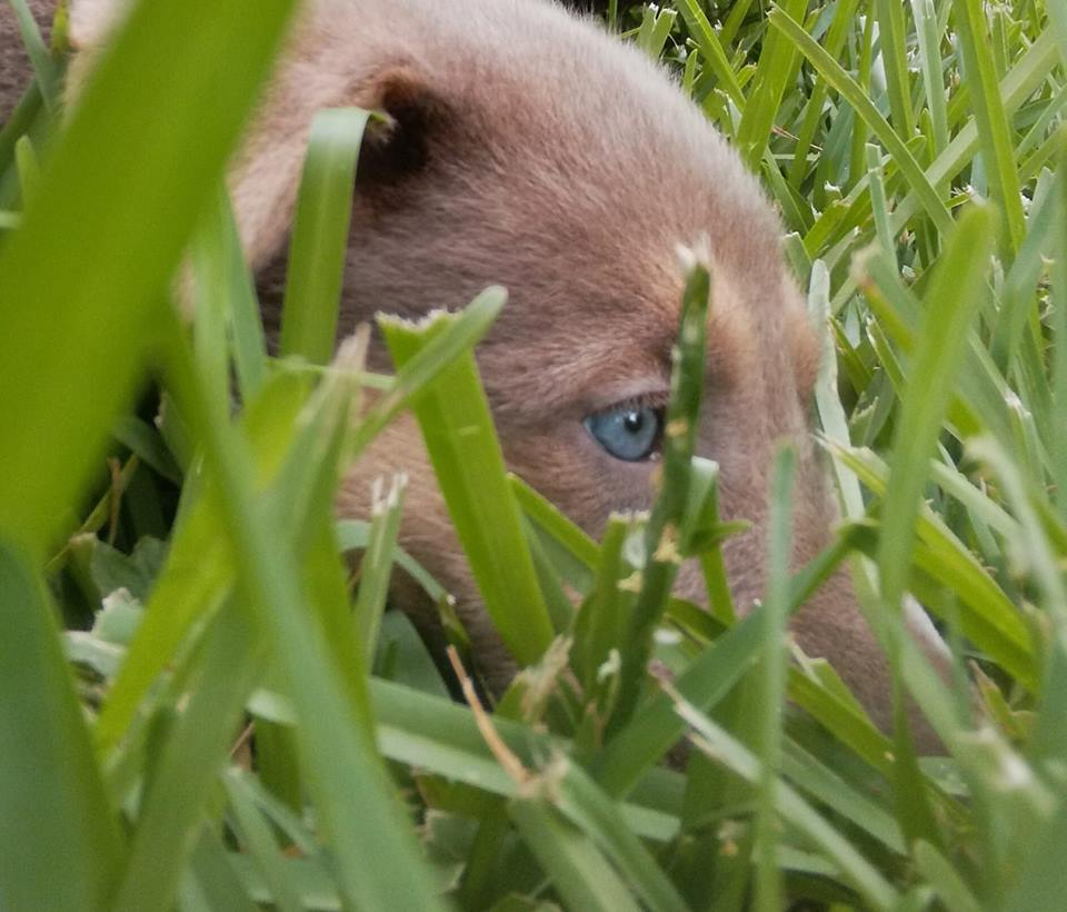 Isabella german shepherd blue eyes wolfg