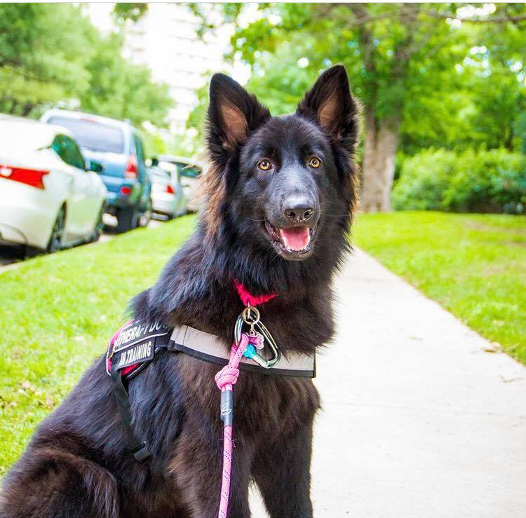 therapy dog german shepherd in texas