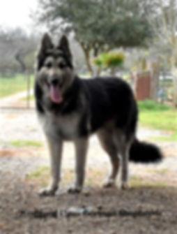 Steel large german shepherd in texas1.jp