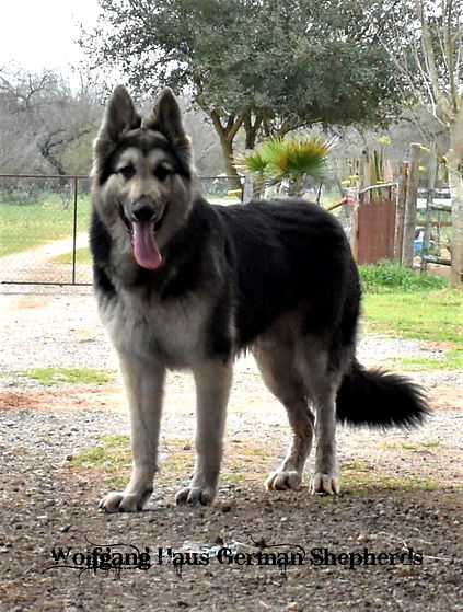 Steel large german shepherd in texas1.jp