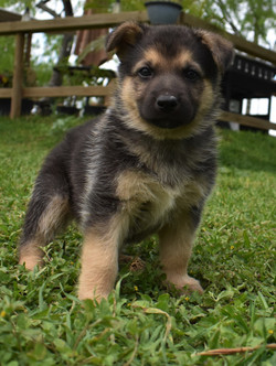 white black and tan extra large german shepherd puppy for sale in tx