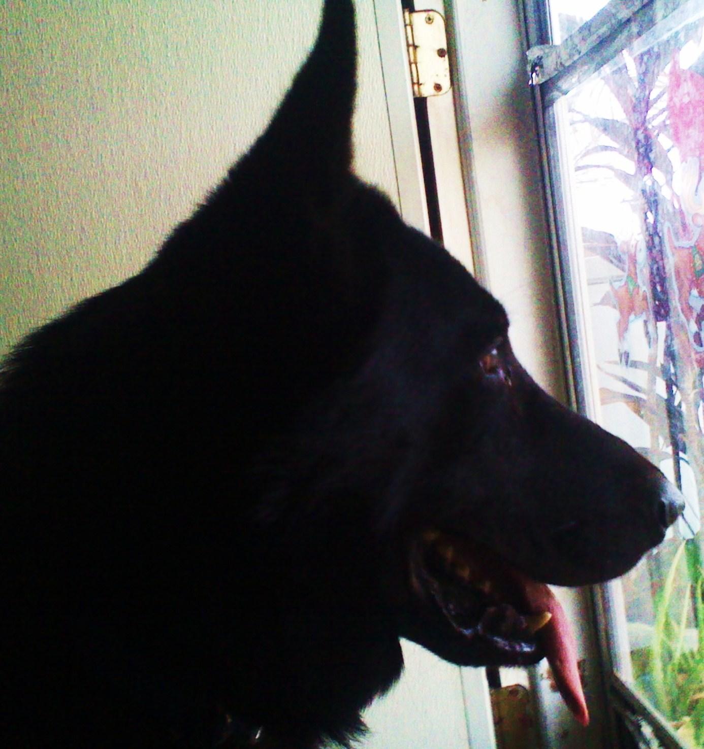 z cobalt giant german shepherd head, wolfgang haus german shepherds.jpg
