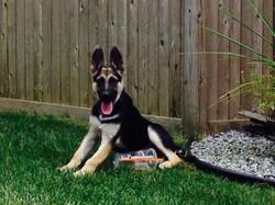 Zenzi and Hailock black and tan big puppy