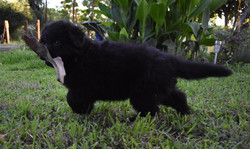 solid black long coat german shepherd puppy (3)