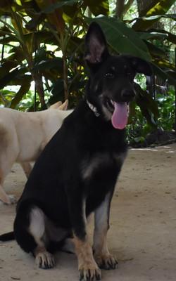 snake collar big extra large dark german shepherd puppy for sale (3)