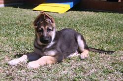 Ziva and Duke wolfgang haus german shepherds, black and tan extra large german shepherd male puppy i