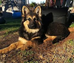 extra large long coat german shepherd