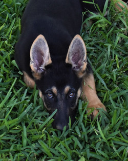 Veda and Ruger girl, extra large black and red german shepherd puppy for sale in tx