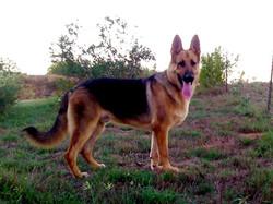 giant red and black german shepherd, wolfgang haus german shepherds.jpg