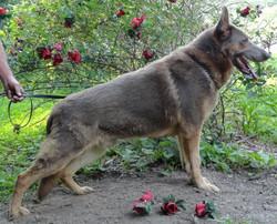 Isabella Short coat german shepherd-belongs to Shepherds Rose Garden