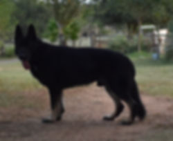 extra large giant bicolor german shepher