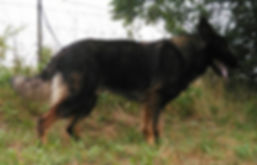 sable long coat german shepherd in texas