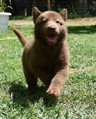 solid liver german shepherd puppy wolfga