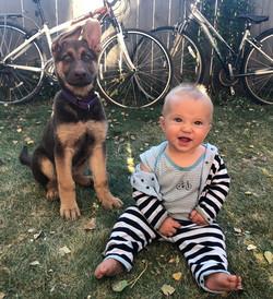 rosey liver and tan german shepherd pupp