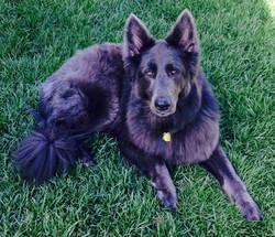 solid blue long coat german shepherd