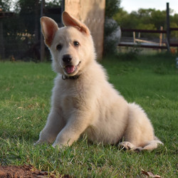 white champagne german shepherd puppy for sale in tx
