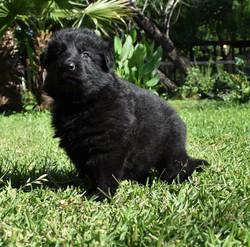 long coat solid black german shepherd puppy in tx