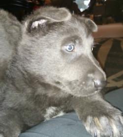 solid blue german shepherd puppy
