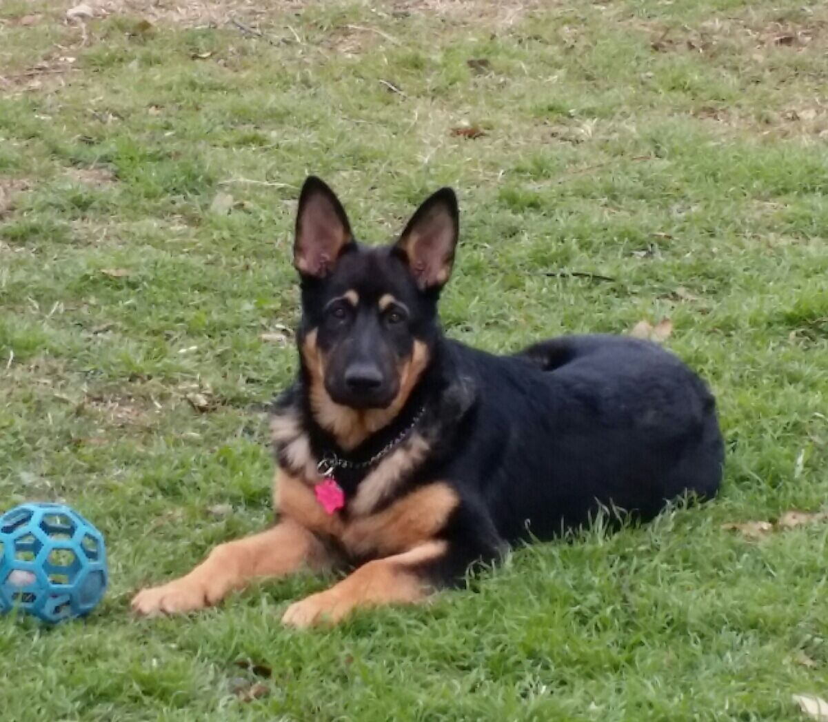 Jericho, 4 months 55 lbs old fashioned german shepherd puppy, wolfgang haus german shepherds texas