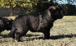 dark black sable long haired german shep