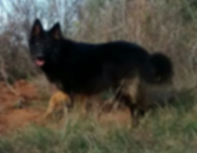 long coated bicolor german shepherd