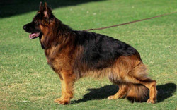 P-Storm topolovnicki dads brother, black and deep red long coat german shepherd