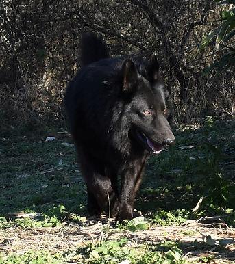 solid black long coat large german sheph
