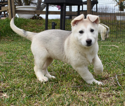 silver sable reverse mask akc german shepherd puppy for sale
