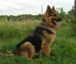 Ziva extra large german shepherd