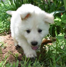 white male long coat german shepherd pup