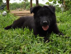 Prada and brahm solid black long coat german shepherd puppy for sale in tx
