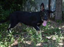 snake collar big extra large dark german shepherd puppy for sale (2)