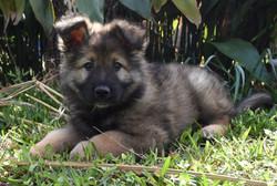 long coat sable german shepherd puppy fo