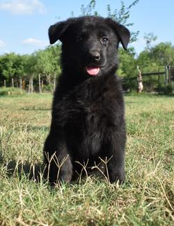 solid black german shepherd puppy for sa