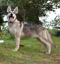 AKC silver sable wolf mask german shepherd from wolfgang haus german shepherds