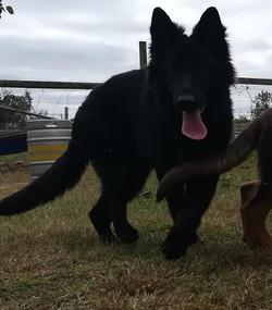 solid black long coat german shepherd pu