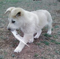 silver sable maskless extra large german shepherd puppy, wolfgang haus german shepherds