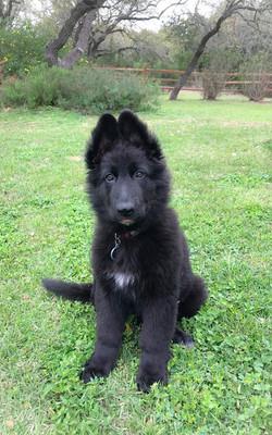 Brahm and Zenzi solid black extra large long coat german shepherd puppy in texas
