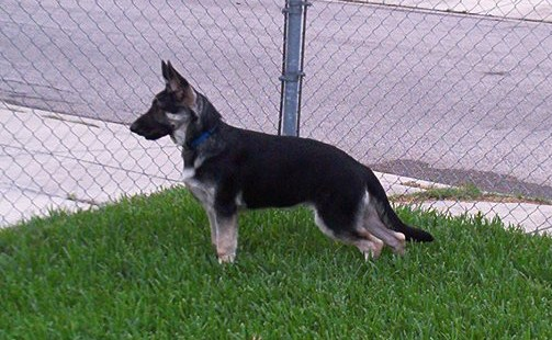 18 weeks axel 5 black and silver german shepherd.jpg