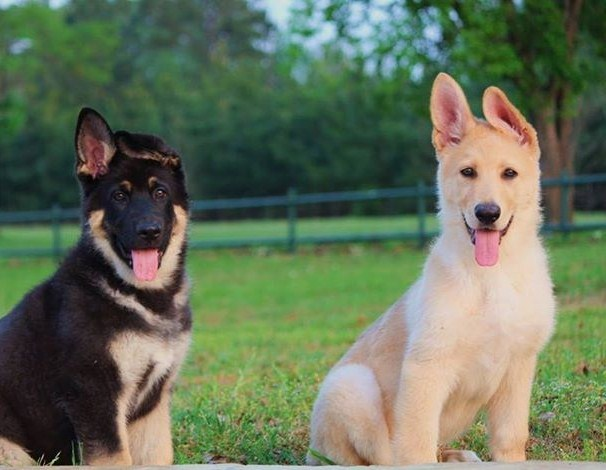 12 weeks cream sable german shepherd and black and tan giant german shepherd tex