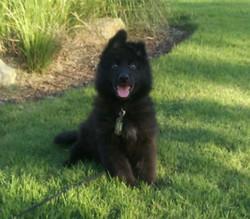 Solid black long coat german shepherd male puppy, Wolfgang Haus german shepherds