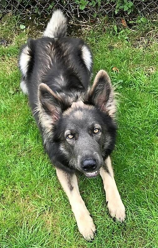 blue sable german shepherd-owner and breeder Fiona Gierus