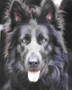 long coat solid blue german shepherd