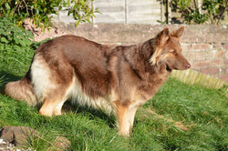 Liver and Tan german shepherd-Owner Fiona Gierus