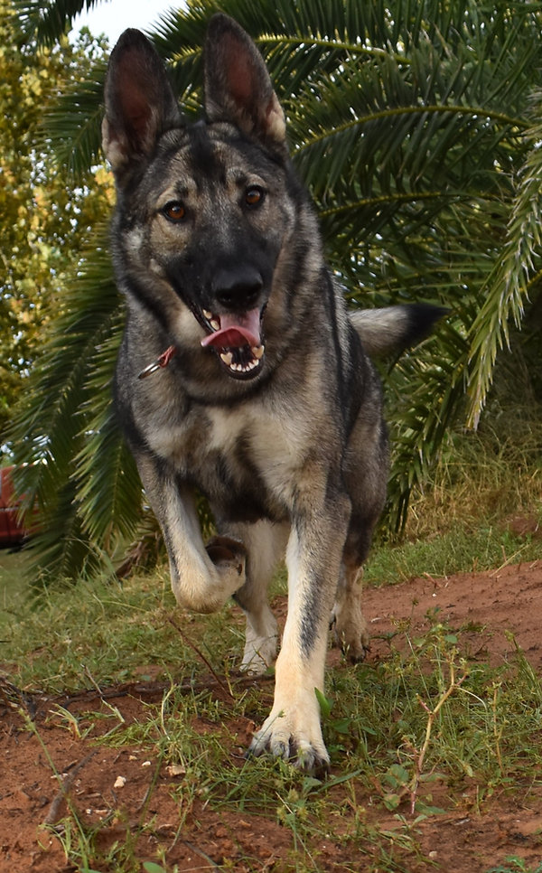 extra large silver sable german shepherd