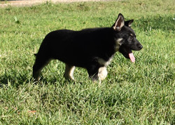 Roma and Hailock black and silver male german shepherd puppy, 9 week old black and silver german she