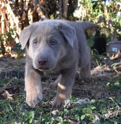 Isabella extra large german shepherd pup