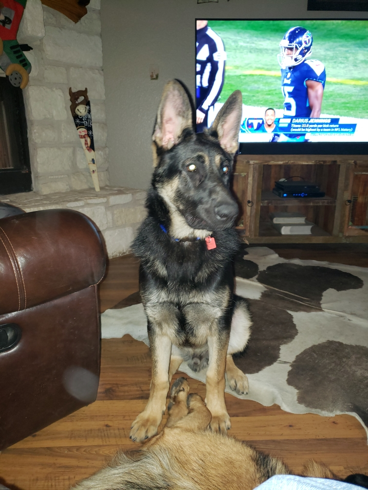 extra large german shepherd puppy (3)